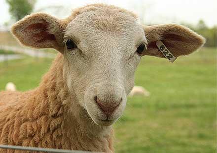 Моторист катастрофира в … овца