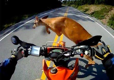 Мотоциклетист цели елен, изтупва се и продължава (видео)