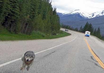 Вълк по петите моторист в Канада